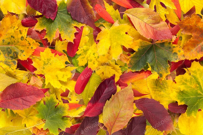 Autumn fall various colored leaves background