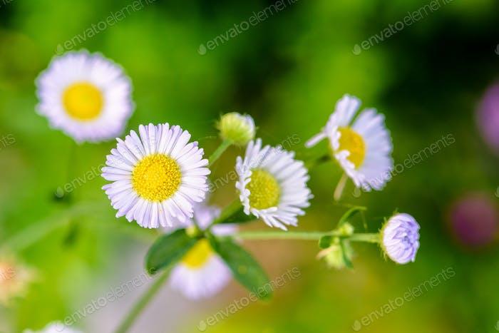 Nahaufnahme Gänseblümchen Blume