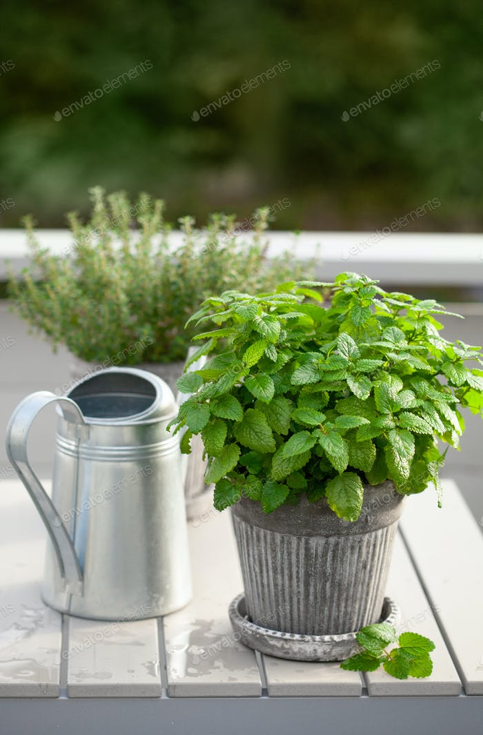 lemon balm (melissa) and thyme herb in flowerpot on balcony