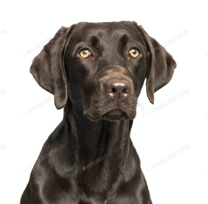Close-up of a chocolate Labrador Retriever dog on a white background