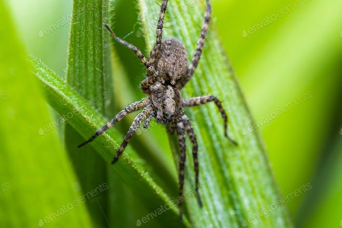 Wolf Spider Pardosa amentata on a green leaf of grass