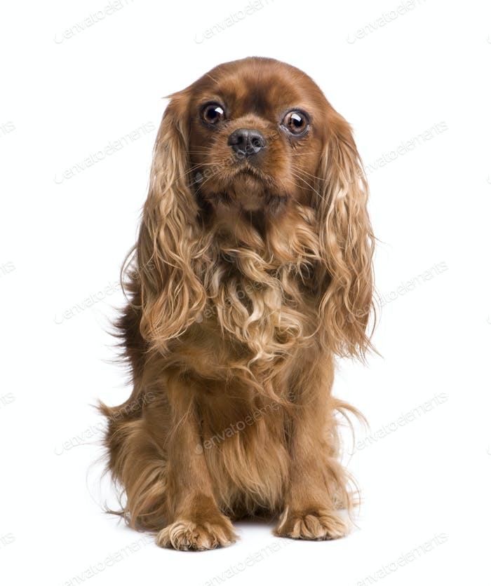Cavalier King Charles (6 years)