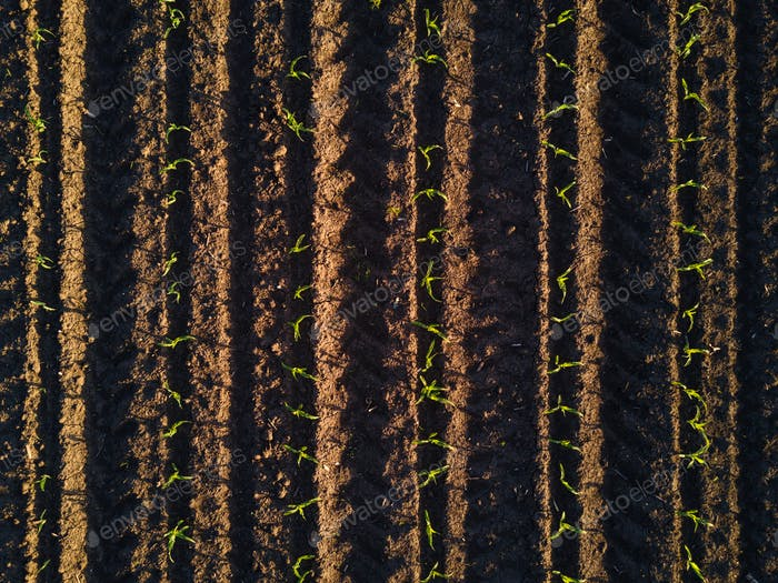 Aerial view of cultivated corn furrows
