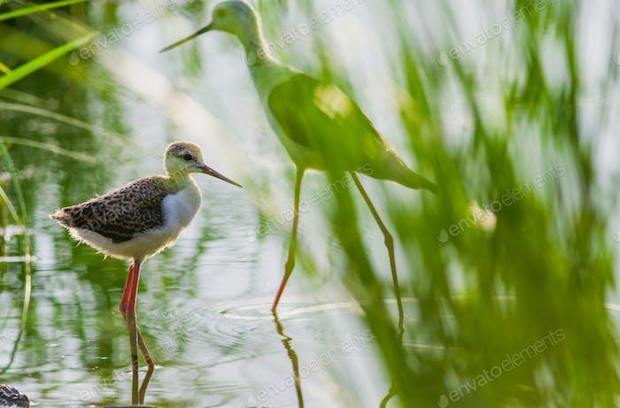 Black-winged Stilt in wetland