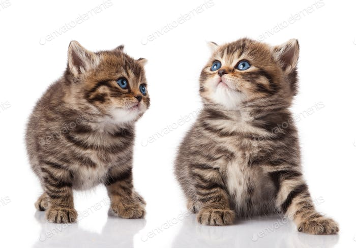 Two little blue eyes kitten.  British breed kittens  isolated on
