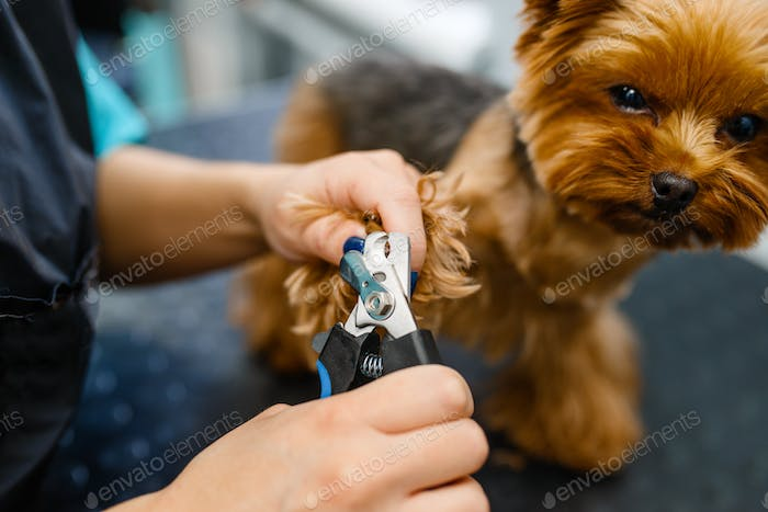 Groomer with clippers cuts the claws of cute dog