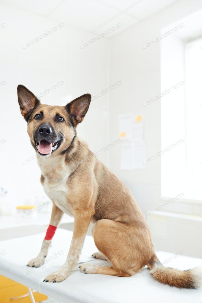 Shepherd dog in clinics
