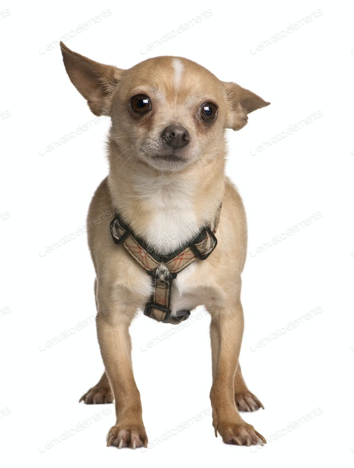 Chihuahua, 7 years old, standing in front of white background