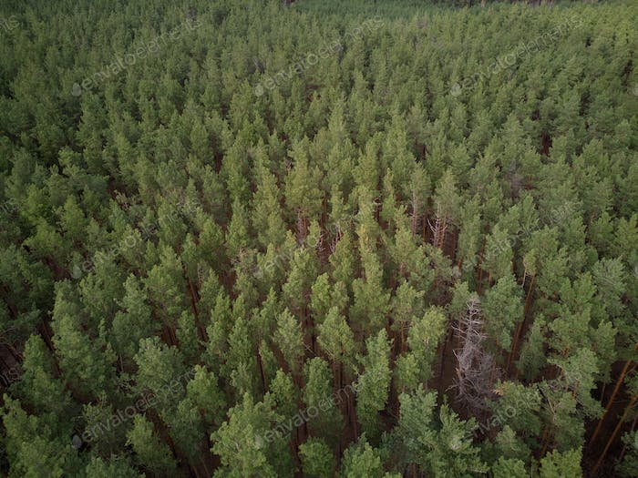 aerial photo of pine forest, birds eye view of green spruce trees in summer