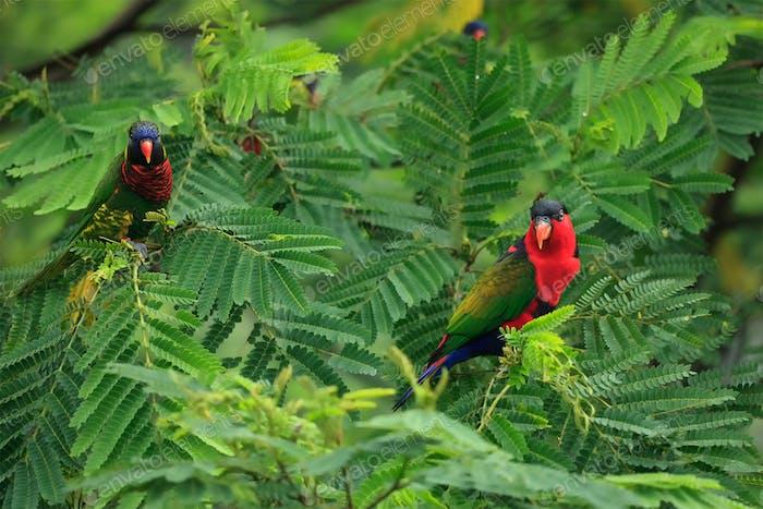 Lories in tree
