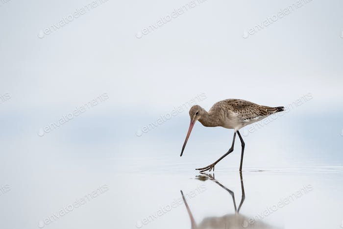 black tailed godwit closeup on lake ,action scene