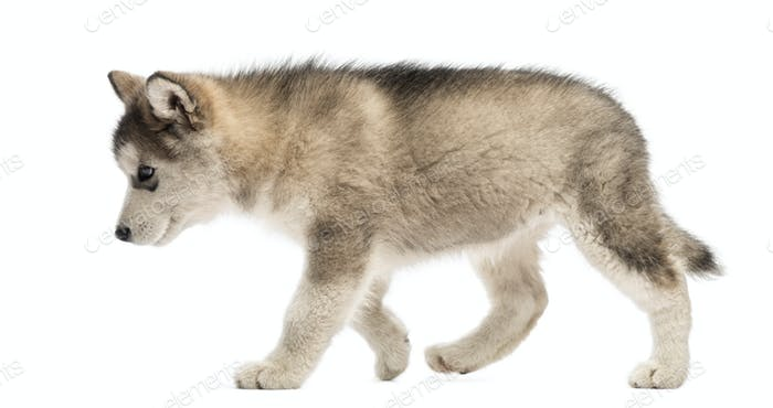 Side view Alaskan Malamute puppy walking isolated on white