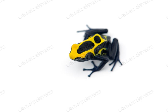 Thumbnail for Blue-yellow poison dart frog isolated on white background