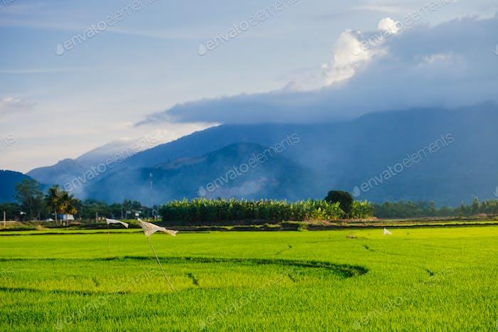 rice meadow in vietnam