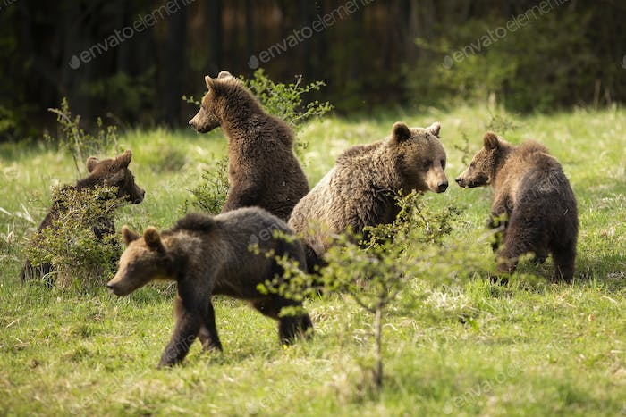 Family of brown bears with adult mother and four cubs playing on meadow