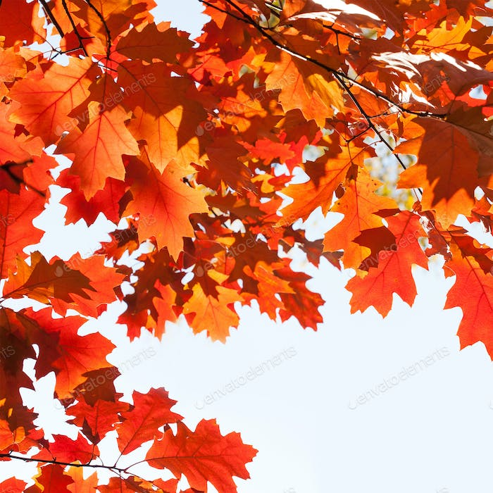 Red oak tree branch with colorful orange brown leaves.