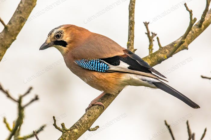 Eurasian jay on branch in tree