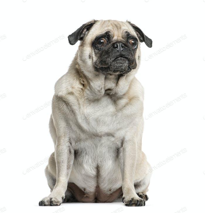Pug sitting, isolated on white