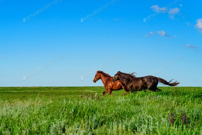 Wild horses galloping in the sunlit meadow