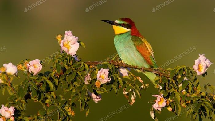 European bee-eater resting on blooming rosehip in summer