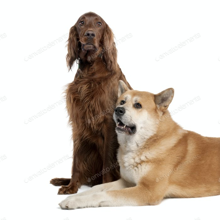 couple of a Irish Setter (3 years) and a akita inu (4years old)