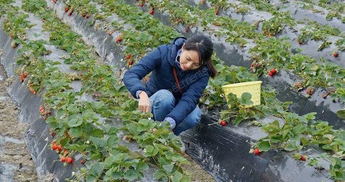 Frau pflücken Erdbeere in der Farm