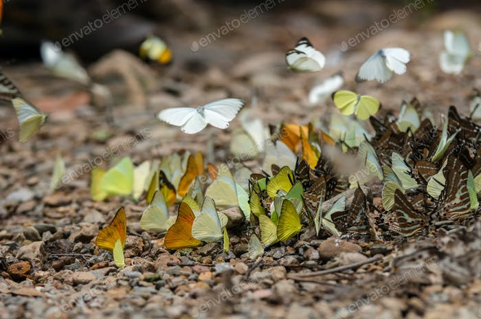 Many species of Multi-colored butterfly