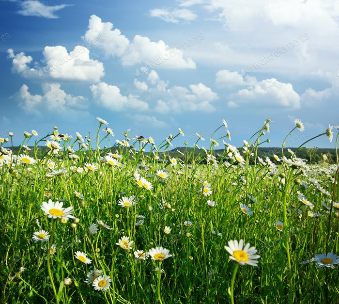 Meadow of daisy