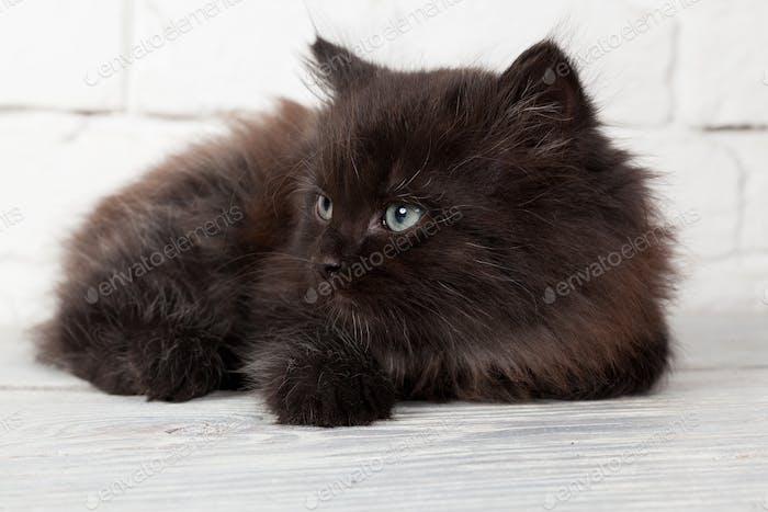 Young black fluffy kitten