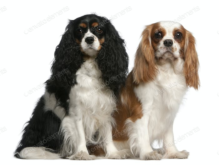 Cavalier King Charles Spaniels, 2 and 3 years old, sitting in front of white background
