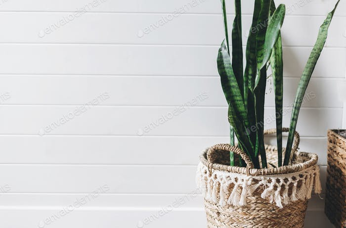 Stylish green plant sansevieria in straw pot on background of white rustic wall