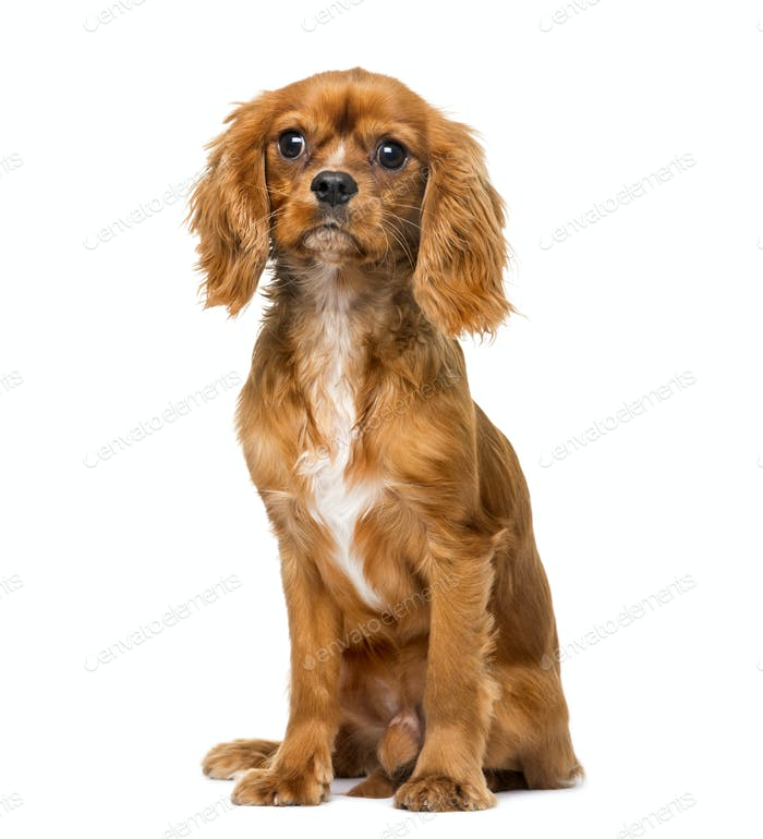 Cavalier King Charles Spaniel (8 months old) in front of a white background