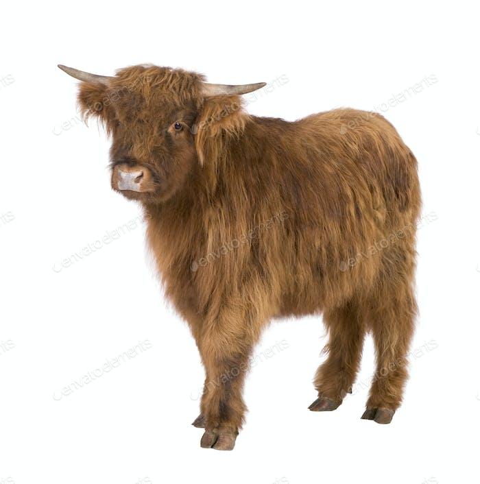 Junge Highland Kuh
