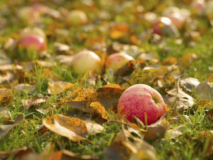 Fresh apple lies on the ground in fallen foliage