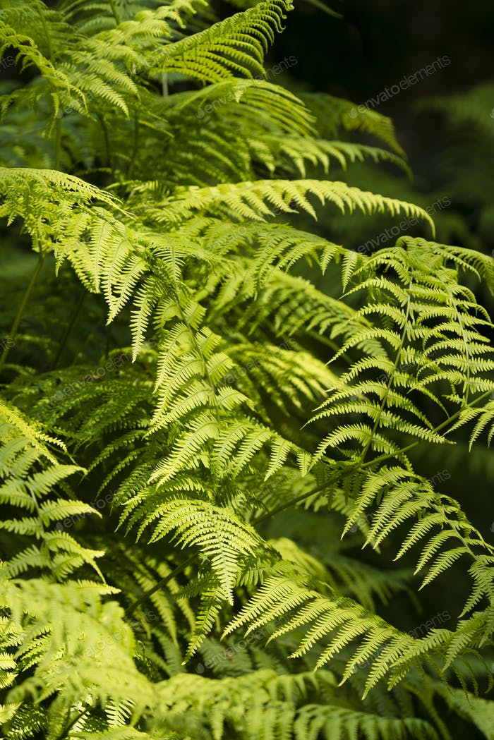 Green Fern leaf fronds