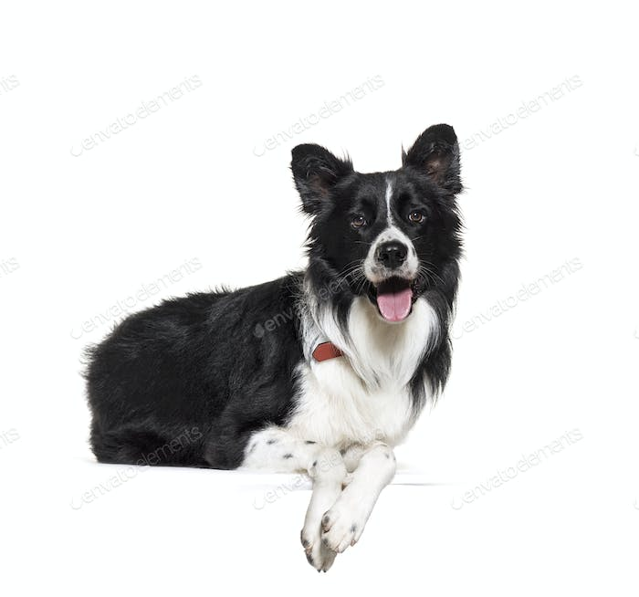black and white lying down Border Collie Dog panting, cut-out