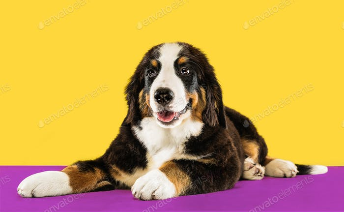 Studio shot of berner sennenhund puppy on yellow studio background