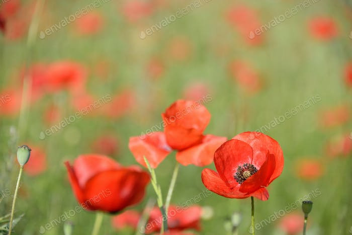 Vibrant red poppies flowers