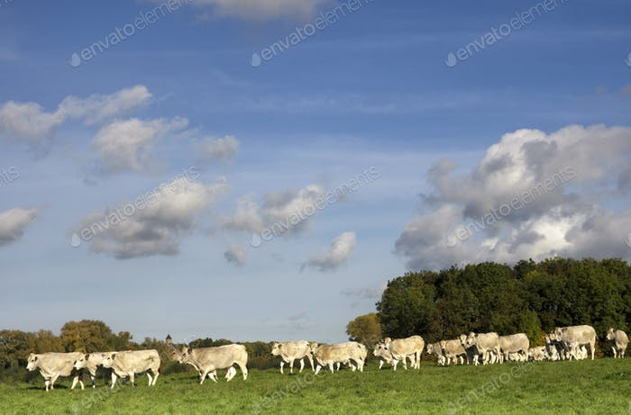Cows in a river floodplain