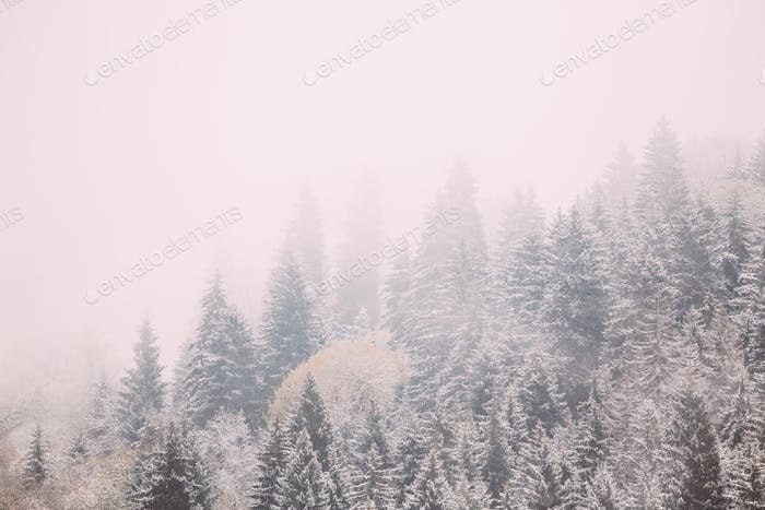 Pines And Spruce, Fir-trees Covered First Snow In Greenwood Fore