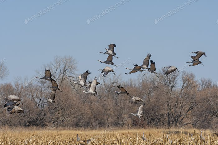 Migrating Cranes taking off from a field