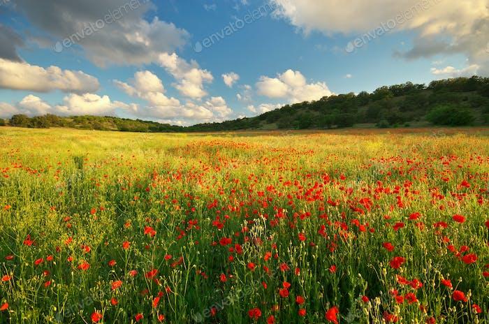 Big poppy meadow.