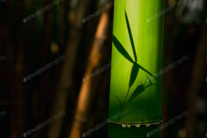 Bamboo close up in bamboo grove