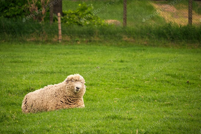 Sheep lying pasture