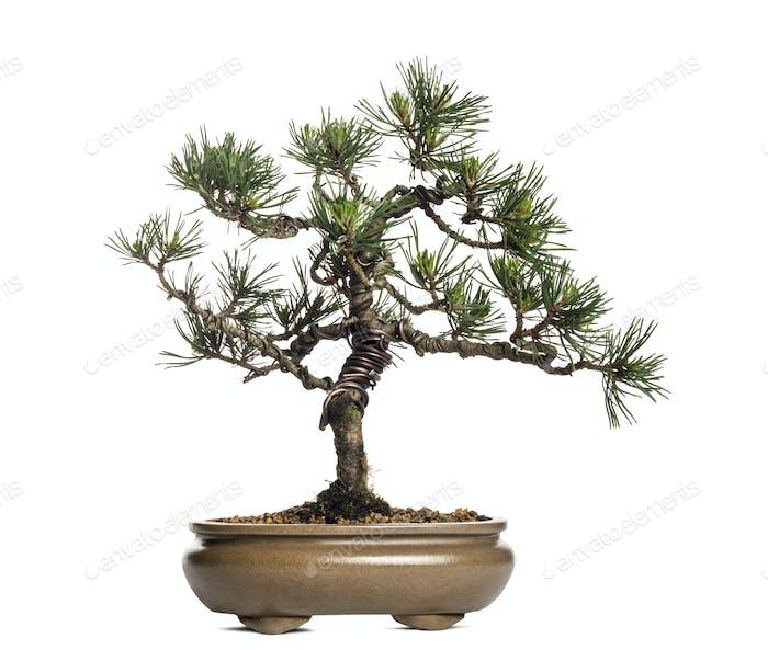 Scots pine bonsai tree, Pinus sylvestris, isolated on white