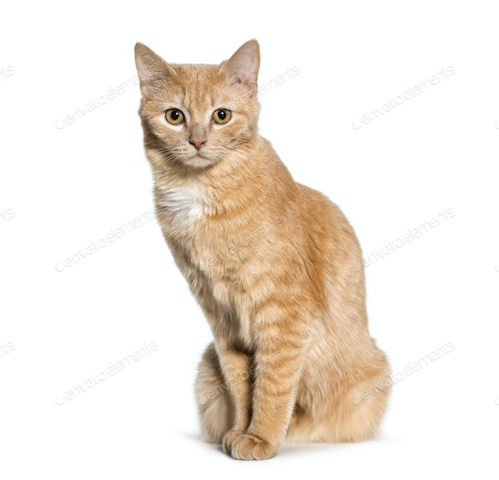 Mixed-breed cat sitting against white background