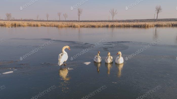 weißer Schwan im Winter