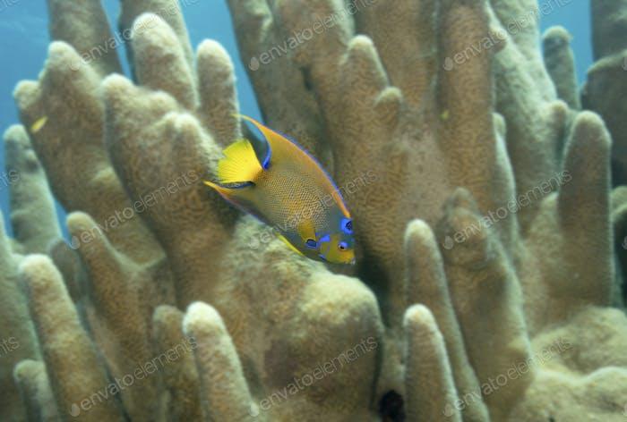 Queen angelfish swimming through Pillar coral.
