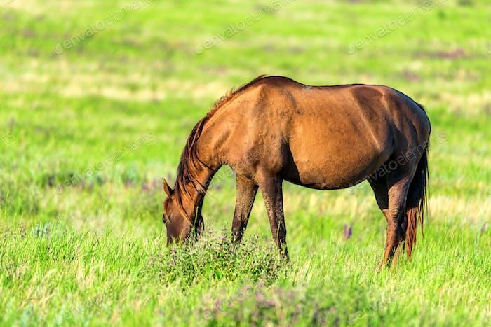 Wild horse grazing on summer meadow