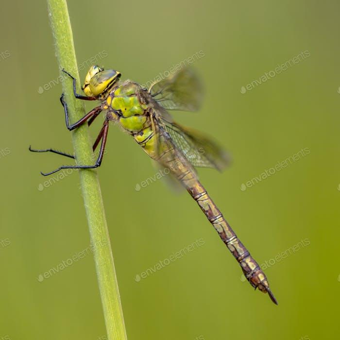 Female Emperor dragonfly
